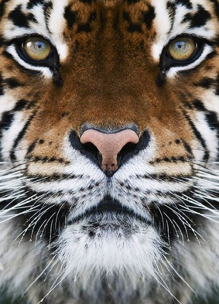 Wild cat eyes - Tiger wall murals